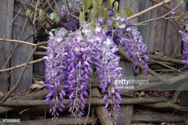 Wisteria vine in bloom on a delapidated wooden fence