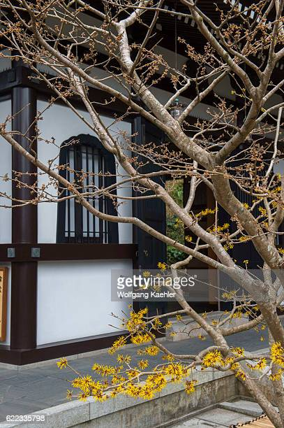 A witch hazel is flowering in front of the Kyozo at the Hase Kannon Temple in Kamakura Kanagawa prefecture Japan