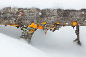 Orange witch's butter, a jelly fungus, could be Tremella mesenterica, on underside of fallen log in Rangeley, Maine, in winter.