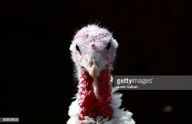 With less than one week before Thanksgiving a turkey stands in a barn at the Willie Bird Turkey Farm November 24 2008 in Sonoma California An...