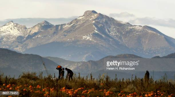 BROOMFIELD CO OCTOBER 22 With Longs Peak in the background people enjoy picking their own pumpkins in one of many fields at Rock Creek Farm Pumpkin...