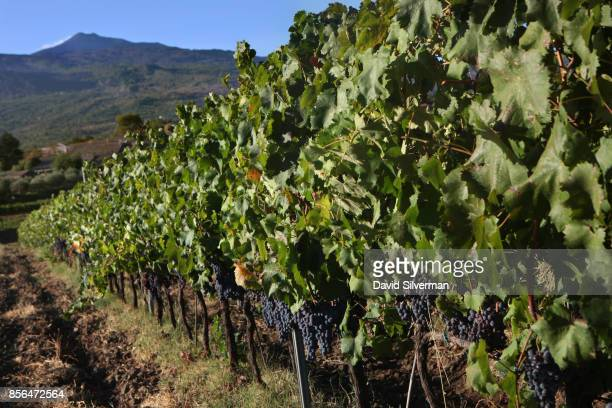 With Mt Etna looming in the background Nerello Mascalese grapes flourish in a vineyard on the northern slope of the volcano Europe's largest and most...
