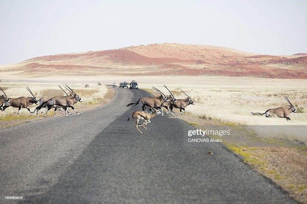 With Paul And Luana Belmondo In Namibia. Paul BELMONDO et son épouse Luana à la découverte de la Namibie à bord du SUV Skoda Yeti 2.0 TDI 4 x4 : troupeaux d'oryx et de springboks traversant une route.