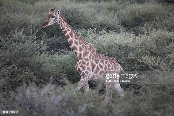 With Paul And Luana Belmondo In Namibia Paul BELMONDO et son épouse Luana à la découverte de la Namibie à bord du SUV Skoda Yeti 20 TDI 4 x4 girafe...