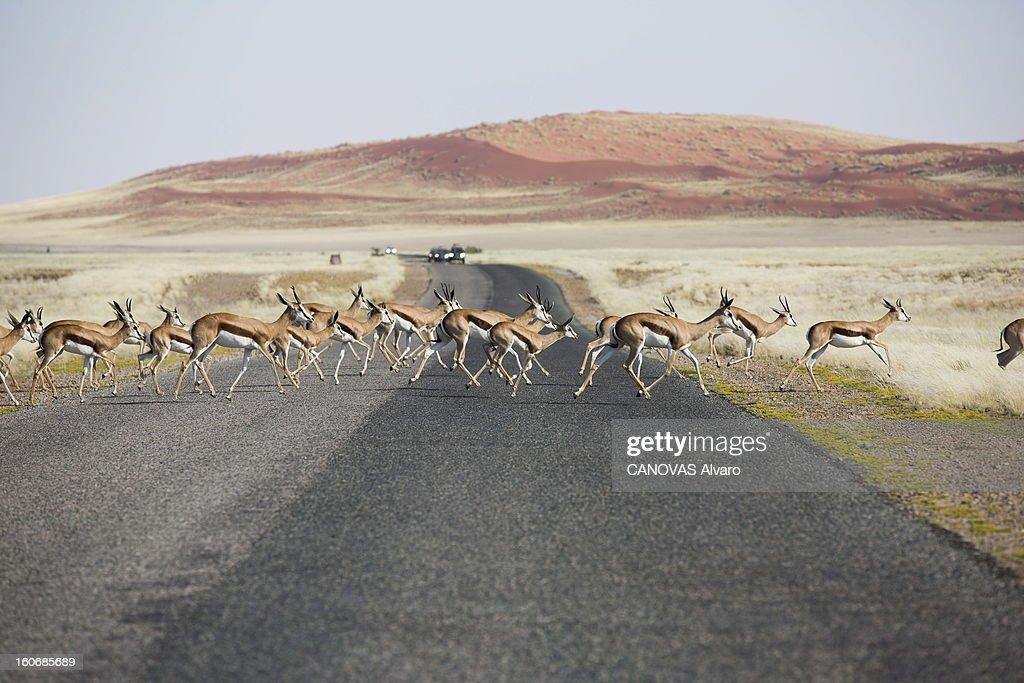 With Paul And Luana Belmondo In Namibia. Paul BELMONDO et son épouse Luana à la découverte de la Namibie à bord du SUV Skoda Yeti 2.0 TDI 4 x4 : un troupeau de springboks traversant une route.