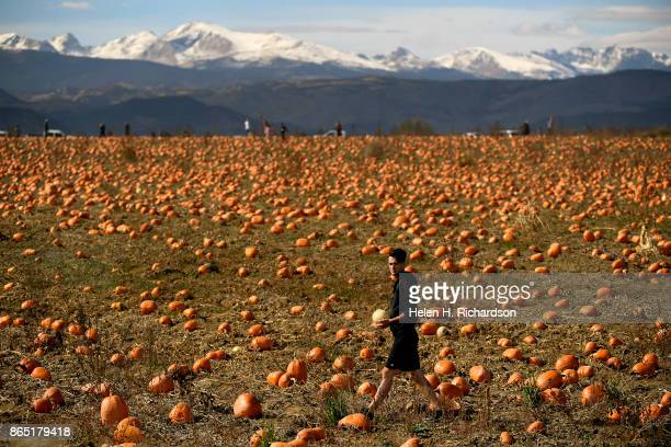 BROOMFIELD CO OCTOBER 22 With snow on the mountains in the background people enjoy picking their own pumpkins in one of many fields at Rock Creek...