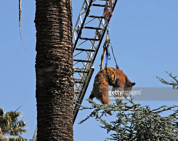 With the aid of the ladder truck Oxnard FD lifted the tranquilzed brown bear down from the tree A brown bear went up a tree in the Santa Clara...