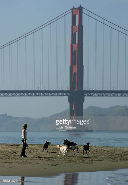 With the Golden Gate Bridge in the background dogs play in the water on the beach at Crissy Field February 24 2006 in San Francisco San Francisco is...