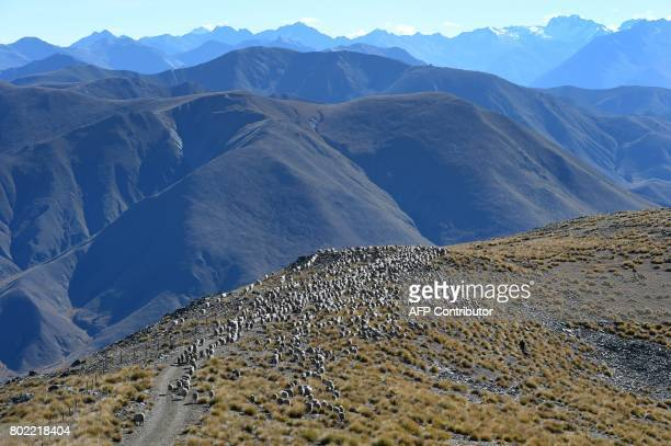 With the Southern Alps in the background a photo taken on 21 April shows a flock of merino sheep driven 15 kilometres up and over Old Man Peak at...