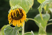 Wither sunflower.