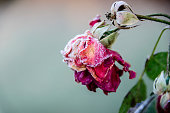The last remaining withered rose covered with frost.