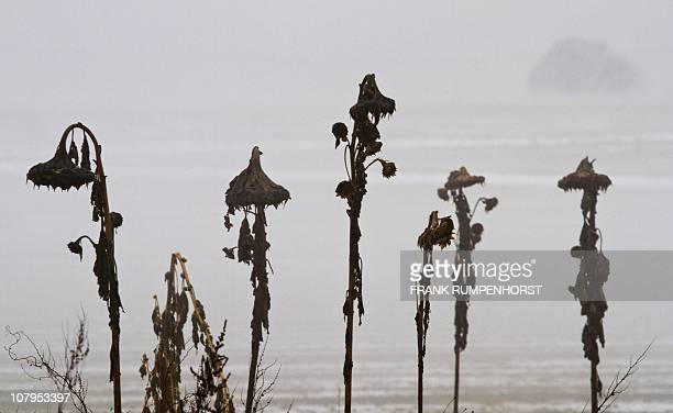 Withered sunflowers stand in the fog on a field near Weilbach between Wiesbaden and Frankfurt/M western Germany on January 7 2011 Winter brought a...