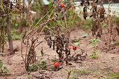 Small red tomatos on the withered plant in the vegetable garden