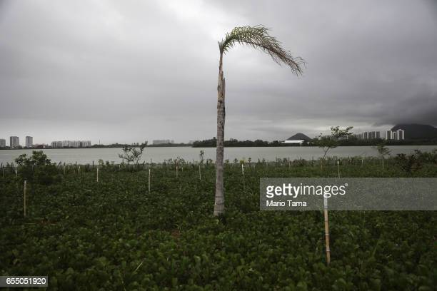 A withered tree stands in the Olympic Park on March 18 2017 in Rio de Janeiro Brazil Seven months after the Rio hosted the first Olympic games in...