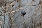 dried bush of rose hips with thorny branches and overripe fruits and a background of concrete wall