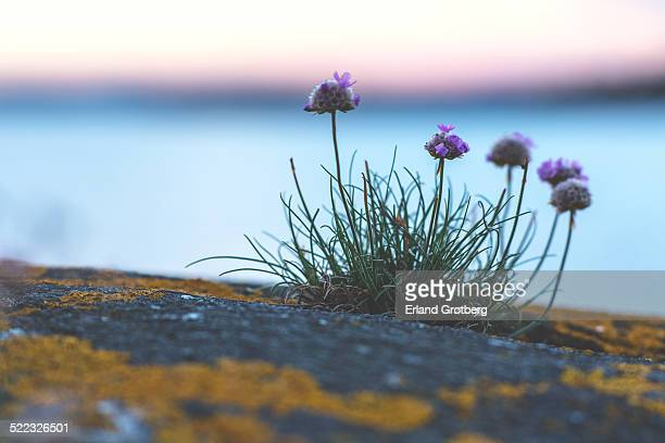 Withering flowers on the rocks