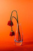 Withering orange poppies