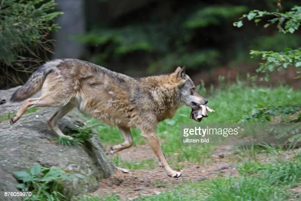 Wolf aus Felsblock weglaufend Futter in Maul rechts sehend
