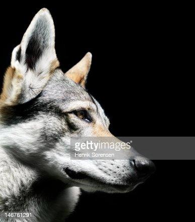 wolf, close up : Stock Photo
