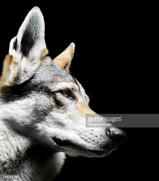 wolf, close up