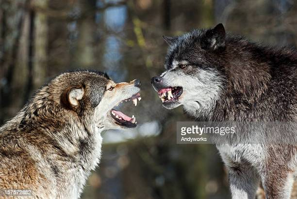 Wolf Diskussion