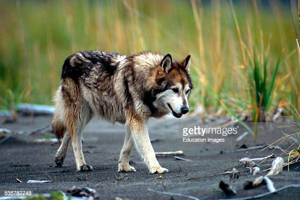Wolf dog on the Prowl Alaska Hybridization in the wild usually occurs near human habitations where wolf density is low and dogs are common