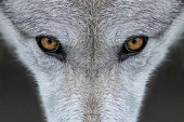 Closeup of the eyes of a gray wolf outside of Yellowstone National Park, Wyoming