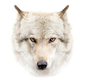 The wolf face on white background