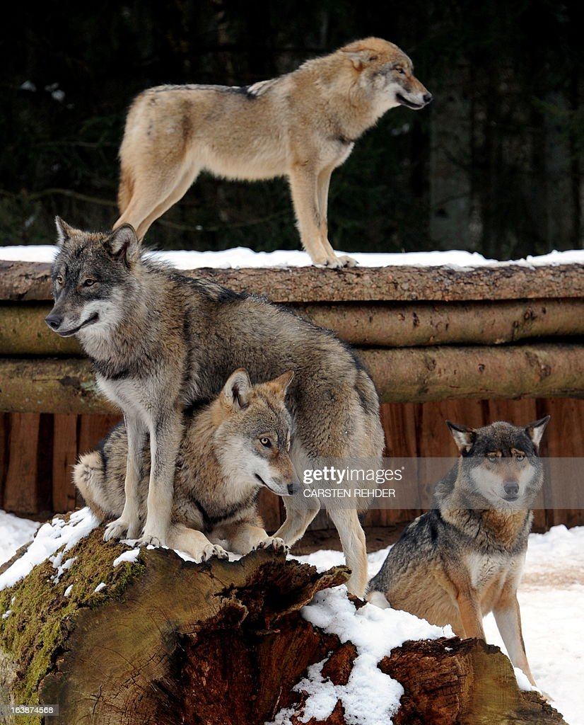 A wolf family with their members Janosch and Alexander (L), Mascha (back) und Lena (R) pose in their snow covered enclosure at the wildpark Eekholt, near Gorssenaspe, northern Germany on March 16, 2013.