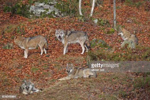 Wolf fuenf Tier in Wald mit herbstlich verfaerbten braunen Blaettern stehend und liegend verschieden sehend