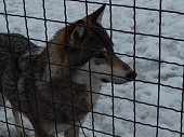 Wolf in an aviary behind bars