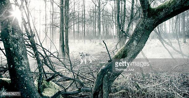 Wolf in cold forest