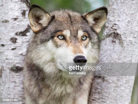 Wolf in Forest : Stock Photo