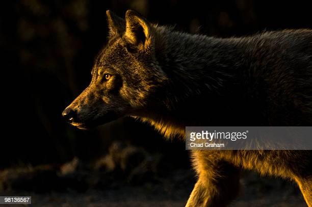 Wolf in Golden Light