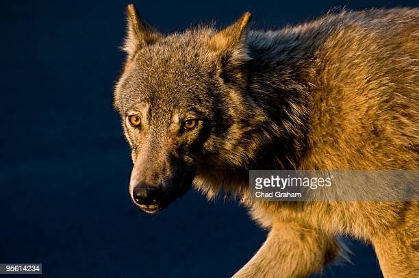Wolf in Magic Hour Light