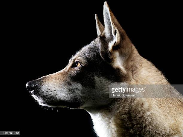 wolf- in profile