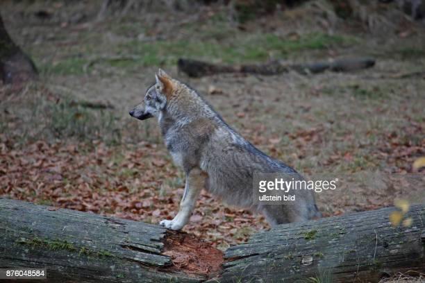 Wolf in Wald mit herbstlich verfaerbten braunen Blaettern auf Baumstamm stehend links sehend