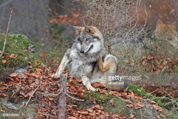 Wolf in Wald mit herbstlich verfaerbten braunen Blaettern sitzend putzend hersehend