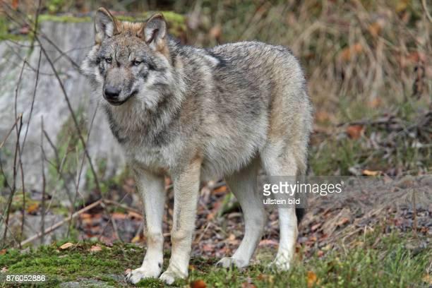 Wolf in Wald mit herbstlich verfaerbten braunen Blaettern stehend links sehend