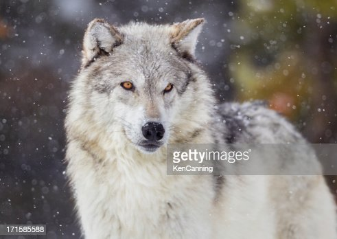 Wolf in Winter Snow