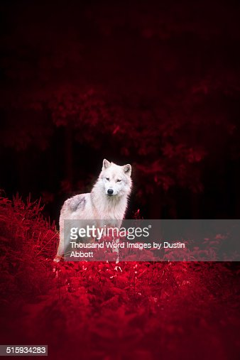 Wolf in Wonderland