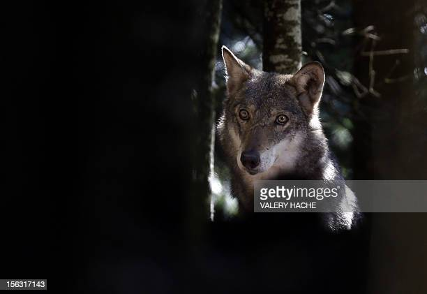 A wolf is pictured on November 13 2012 at the Mercantour Park in SaintMartinVesubie southeastern France AFP PHOTO / VALERY HACHE