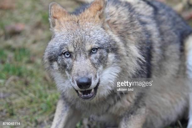 Wolf Kopfportrait hersehend