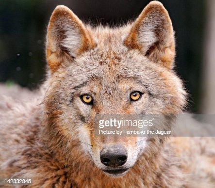 Wolf looking at camera