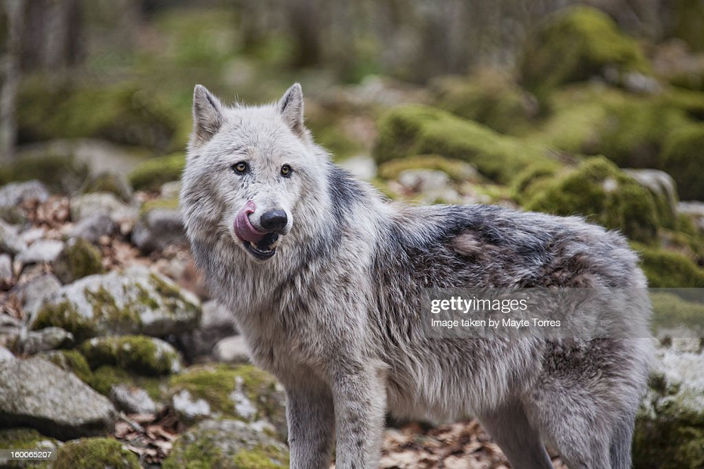 Wolf looking hungry : Stock Photo