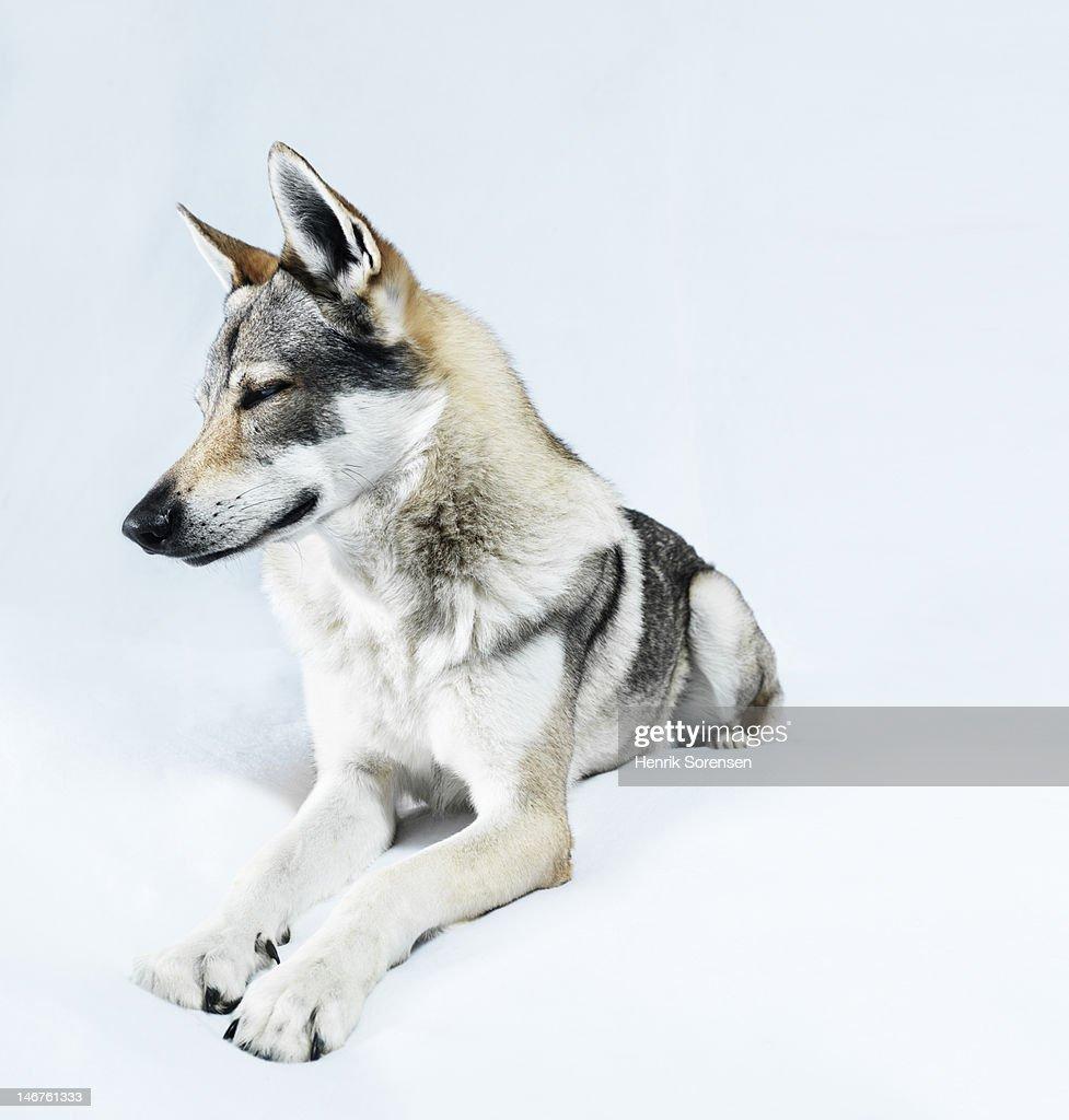 wolf, lying on white backdrop : Stock Photo
