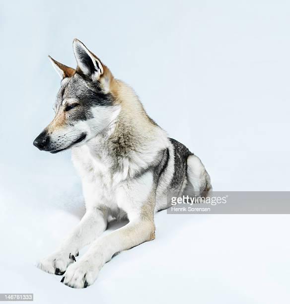 wolf, lying on white backdrop