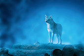 Wolf on a moonset and on woods and with fog.