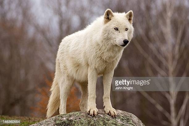 Wolf on his lookout rock