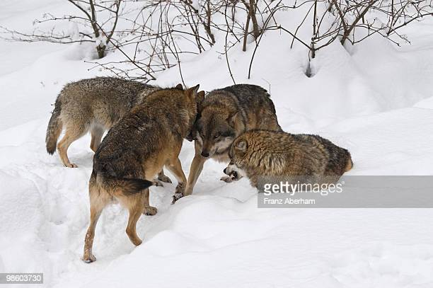 Wolf pack meeting, Bavarian Forest, Germany